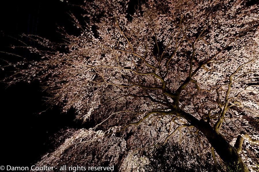 dc sakura tree 201303167355